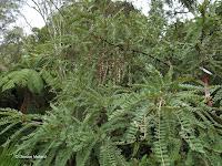 Casophora tree - Wellington Botanic Garden, New Zealand