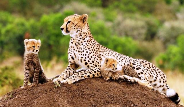 Cheetah 5 binatang darat tercepat di dunia