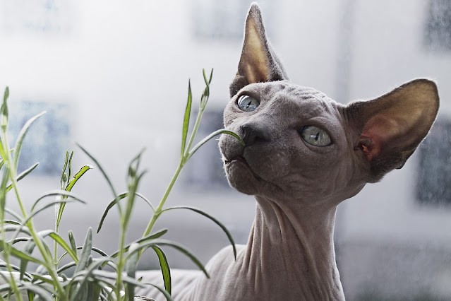 Hairless Cats: Breeds, Info and facts
