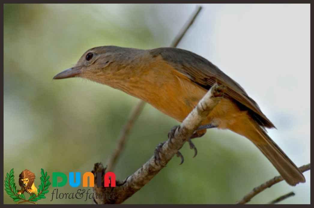 Burung Beracun Di Negeri Kita Indonesia Dunia Flora Dan Fauna