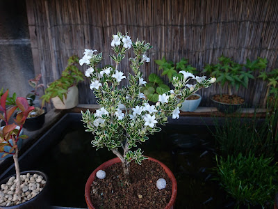 ハクチョウゲ 花