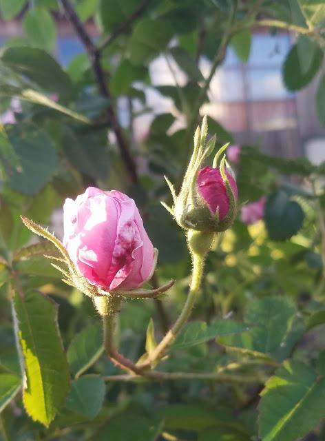 мои 92 дня лета, бутоны чайной розы