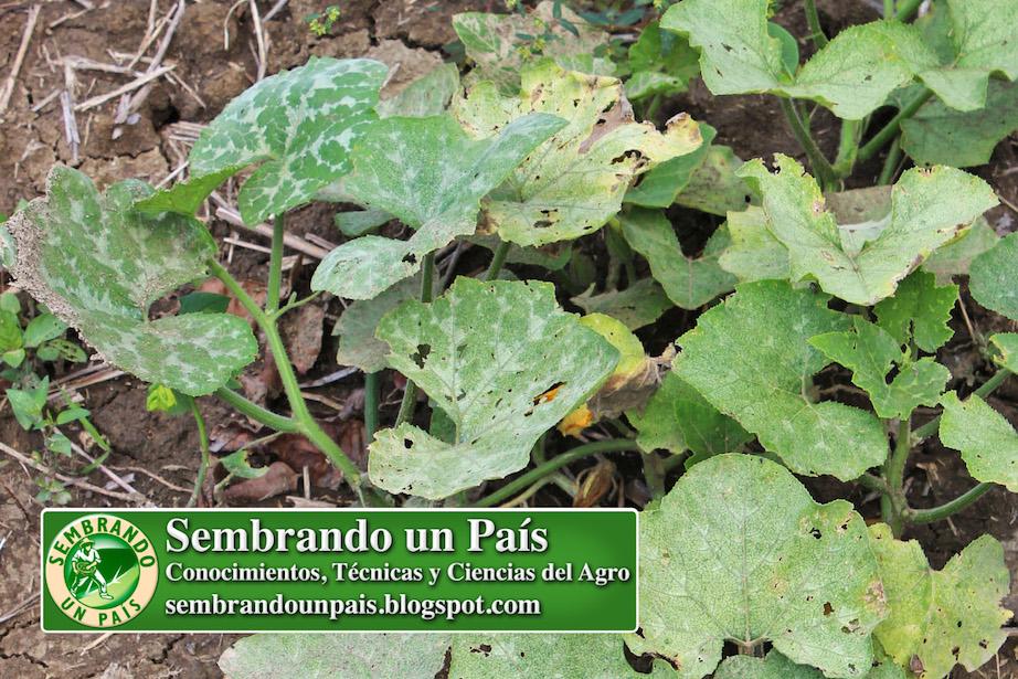 hojas de auyama con daño por plagas