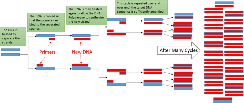 Fun with Biotechnology : PCR