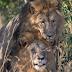 """Dos leones machos fueron encontrados teniendo sexo y Kenia culpa al """"turismo gay"""""""