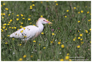 https://bioclicetphotos.blogspot.fr/search/label/H%C3%A9ron%20garde-boeufs%20-%20Bubulcus%20ibis