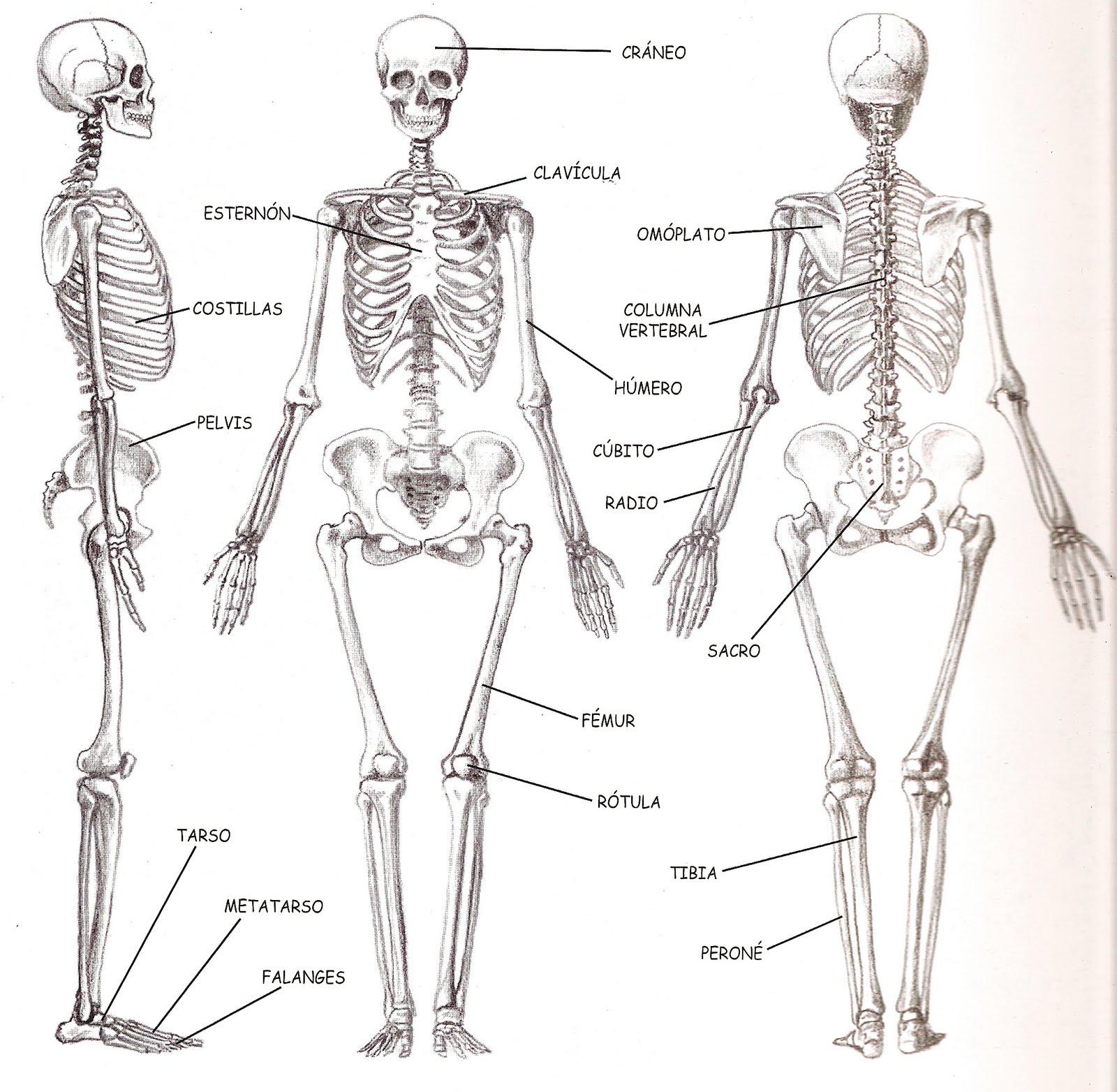 Imagenes De Un Esqueleto Humano Y Sus Partes