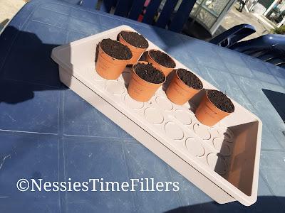 planting herb seeds