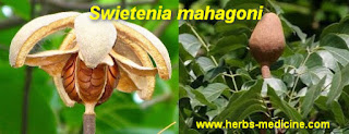 Hypertension use Swietenia mahagoni