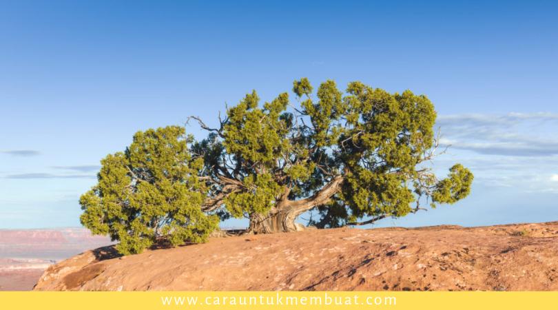 Juniper Tree on Canyonlands 12