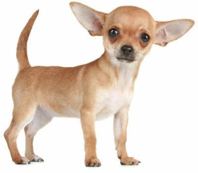 الكلب المكسيكي
