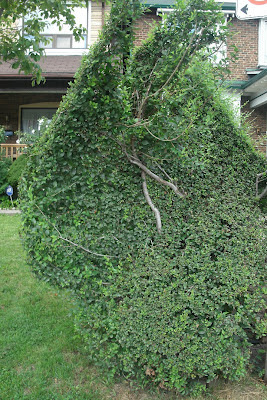 Freeform hedge by garden muses: a Toronto gardening  blog