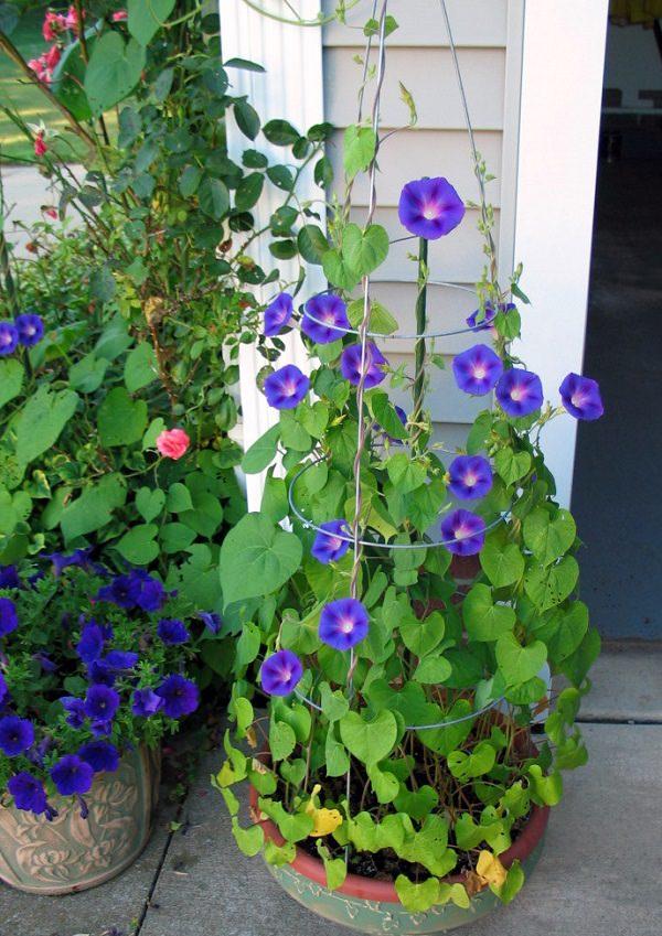 Morning glory tanaman yang beracun