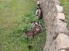 हिमाचल में विचलित कर देने वाली घटना, रस्सी से बंधे मिले बैलों के कंकाल, एकांत में बांध गया था शख्स