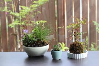 お手入れ前の山野草盆栽二つと苔玉一つ