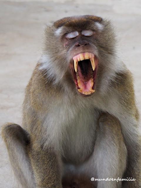 Macaco en el Parque Nacional de Bako