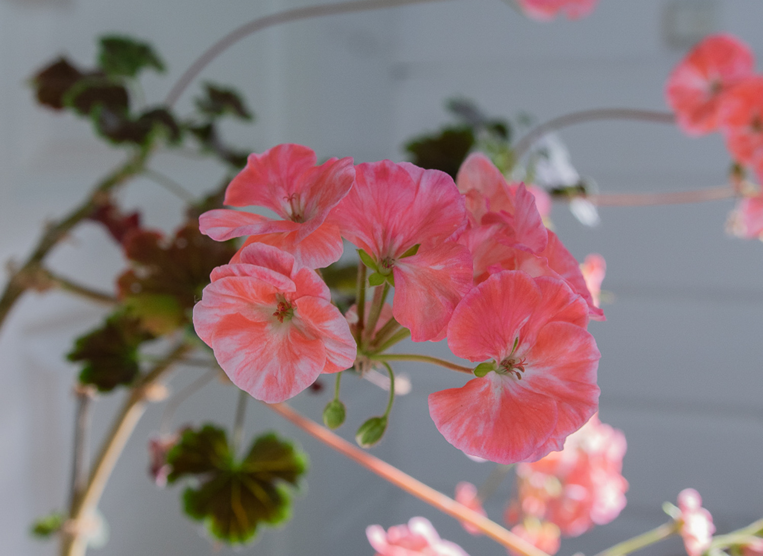 pelargoni-mullanvaihto-100outdoor