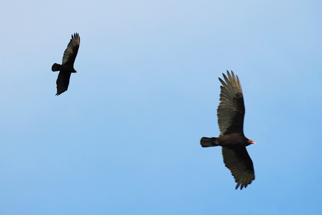 Turkey vultures on the prowl in Saanich...