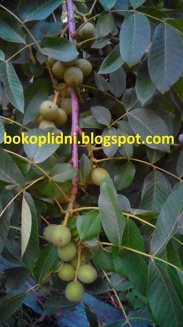 ІНТЕНСИВНІ плантації швидкоплідного горіха