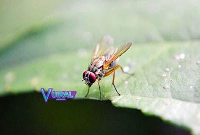 Contoh Simbiosis Parasitisme Lalat Buah Dengan Buah