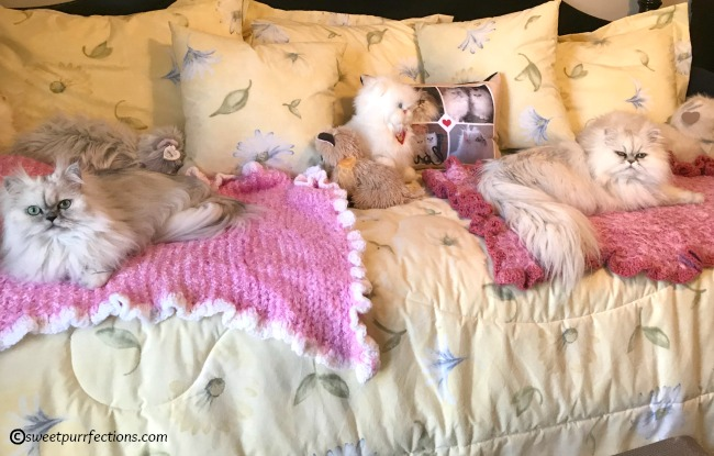 silver shaded Persian cats, Truffle and Brulee, on blankets on the bed