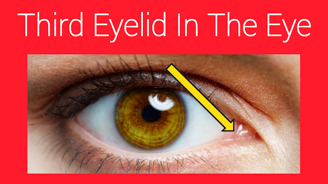 the third eyelid in the eye