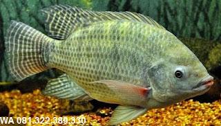 Umpan Serbuk Ikan Nila Galatama