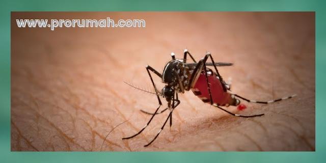 manfaat tanaman cincau - mengobati malaria