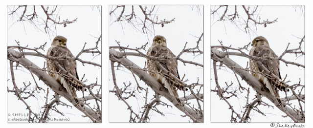 Three views of a Juvenile Sharp-shinned Hawk. © Copyright Shelley Banks, all rights reserved.