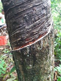 https://www.kangkaret.com/2019/12/perbedaan-menyadap-pohon-karet-yang-sudah-tua-dan-yang-masih-muda.html