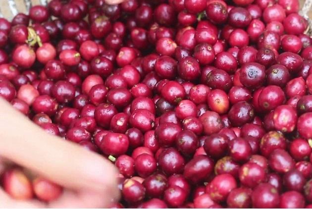Giá cà phê hôm nay 2/6: Tiếp tục tăng 100 - 200 đồng/kg