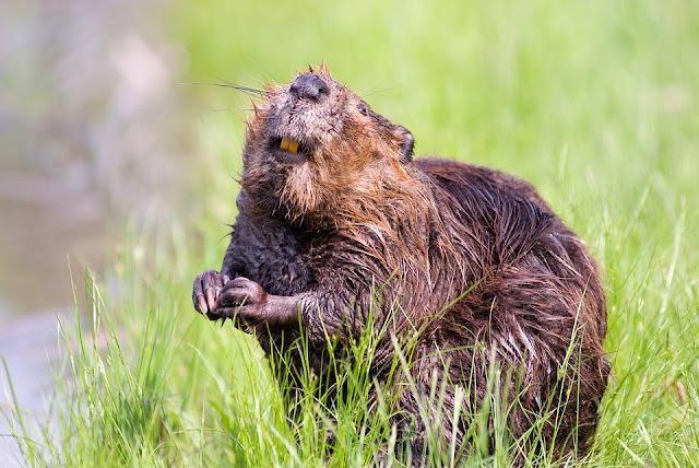 Célèbre La Transition des castors: Le castor, notre animal totem. VU47