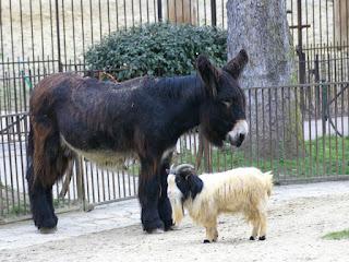 Chèvre naine du Sénégal et Baudet du Poitou