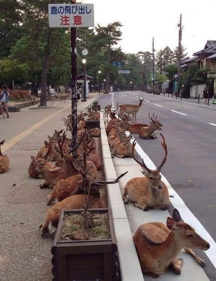 Japanese city of Nara, in which deer instead of dogs and cats