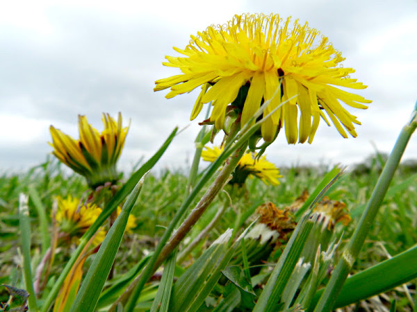How to Make Dandelion Salve to Soothe Sore Muscles and Joints