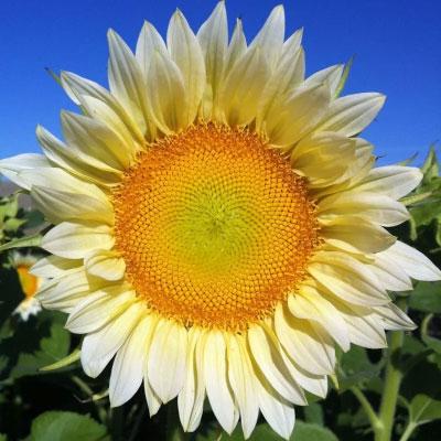 向日葵種子 高性單莖品種婚禮-白月光