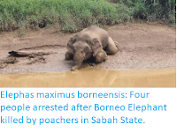 https://sciencythoughts.blogspot.com/2019/10/elephas-maximus-borneensis-four-people.html