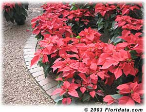 Poinsettias aren't poison