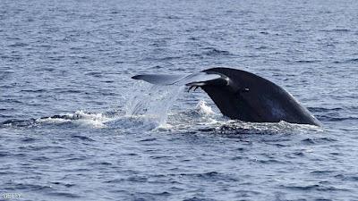 بالفيديو: حقيقة ظهور الحوت الأزرق فى مصر ومعلومة صادمة عن قلبه