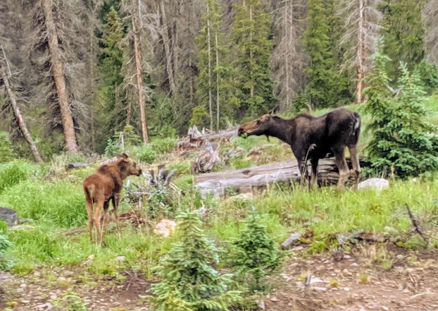 The female and her calf feed near the road to Slumgullion Pass in Colorado.