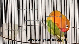 https://www.mysomer.com/2020/07/rahasia-ciri-ciri-lovebird-edan-bahan-konslet.html