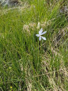 [Liliaceae] Paradisea liliastrum – St Bruno's Lily (Giglio di monte).