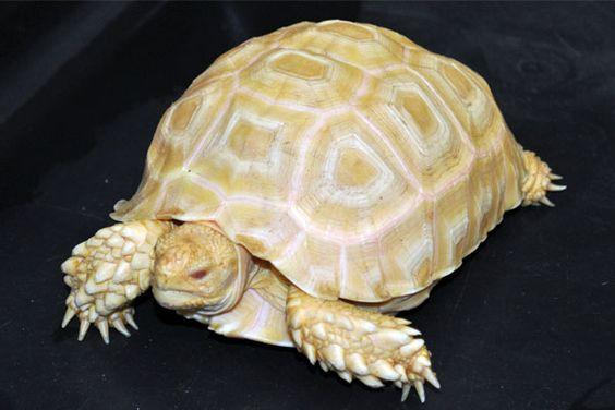 Tortoise | A-Z List of 125 Rare Albino Animals [Pics]