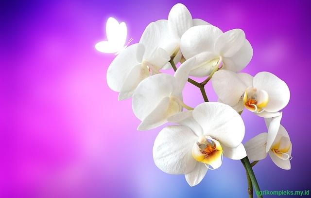 Budidaya bunga anggrek