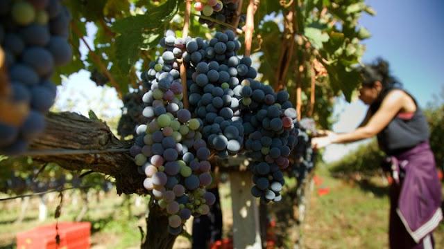 Η κλιματική αλλαγή απειλεί το κρασί
