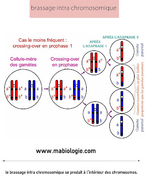 la différence entre le brassage intra chromosomique et le brassage inter chromosomique