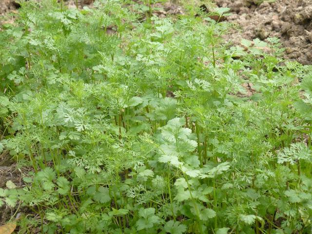 Rau Mùi - Coriandrum sativum - Nguyên liệu làm thuốc Chữa Bệnh Tiêu Hóa