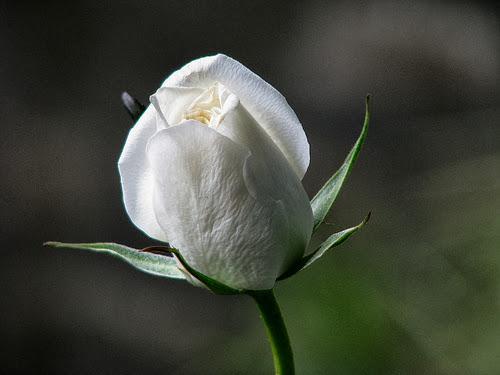 http://1.bp.blogspot.com/-sU_Yim2Z0uI/UlQLkJHfl1I/AAAAAAAAAiU/wdz1n2HMzg8/s1600/bunga-mawar-putih04.jpg