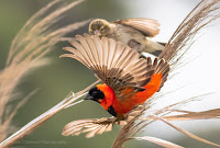 Southern Red Bishop Male in Flight - Copyright Vernon Chalmers