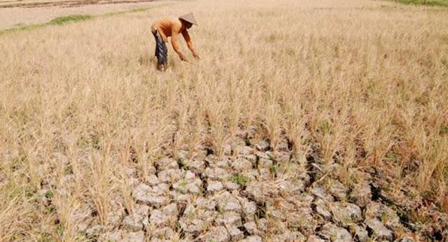 Petani Padi Muara Enim Tunda Masa Tanam Sampai Musim Hujan Tiba
